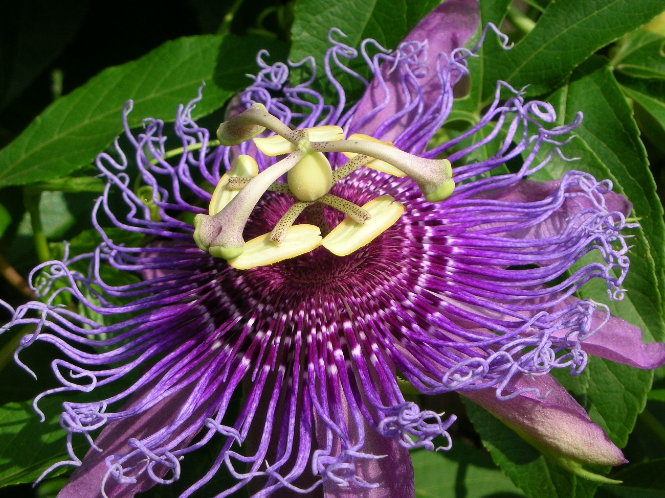 THOUGHTS ON ARCHITECTURE AND URBANISM Myth and Symbolism of the Passion Flower