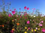 Cosmos grow easily on your consignment shop sidewalk and are WOM-worthy